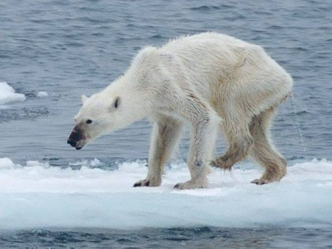 This photo of a starving polar bear might not be all it seems