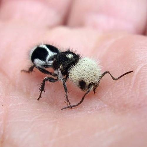 Panda ant Source: Reddit