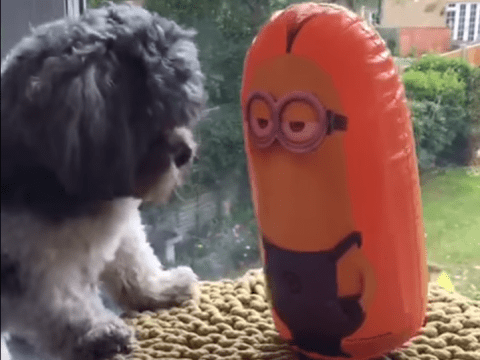 Watch this Minion and dog fight to the bitter end