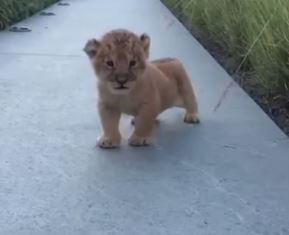 This lion cub's attempt at a full-bellied roar is adorable