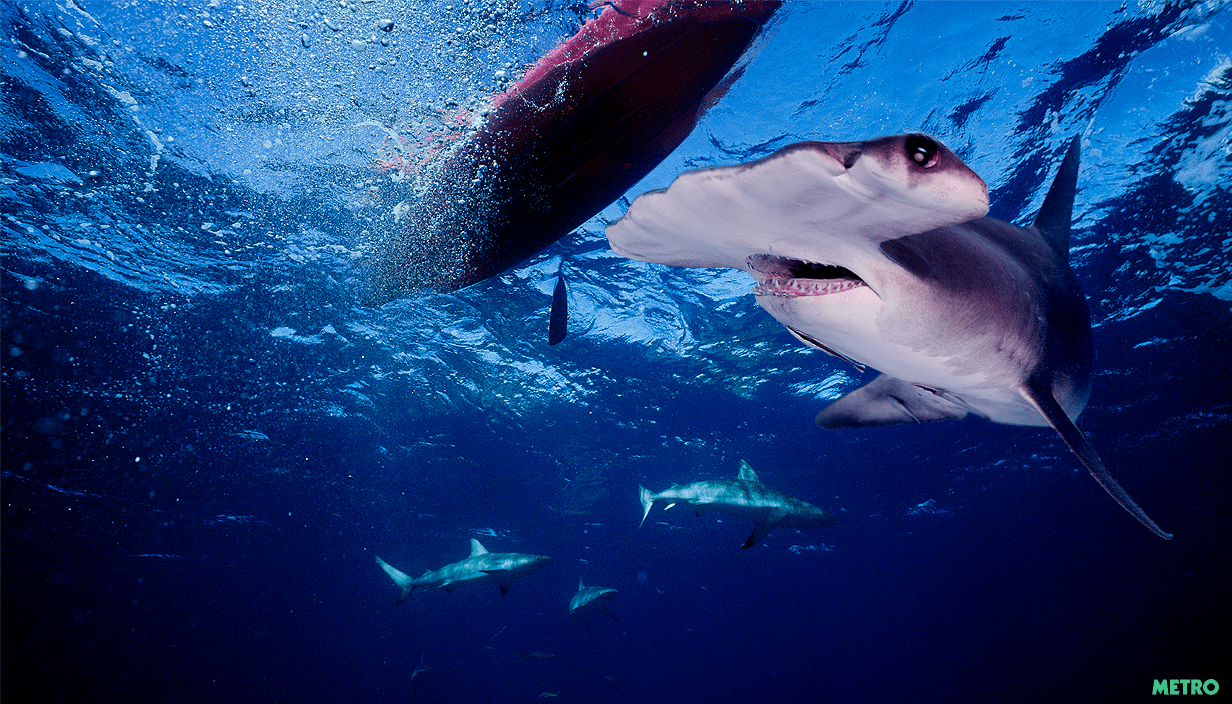 Hammerhead sharks are considered harmless (Picture: Getty Images/Metro/Mylo)