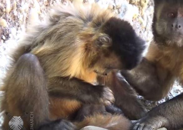 Monkey picking nose