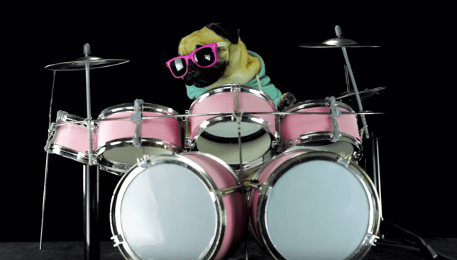 pug playing the drums video