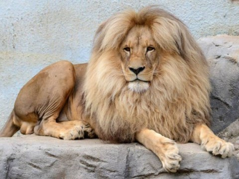 Leon the lion is our new hair idol