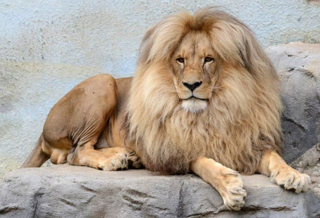 Mandatory Credit: Photo by Slavek Ruta/REX Shutterstock (5224373m) Lion called 'Leon' Lion at Usti nad Labem zoo, Czech Republic - 06 Oct 2015