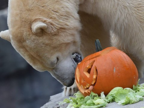 Here is a polar bear celebrating Halloween