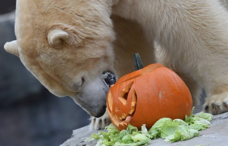 epa04988760 Polar bear Sprinter bites into a pumpkin carved with a Halloween face and filled with oats and nuts in the Adventure Zoo in¿Hanover, Germany, 22 October 2015. EPA/HOLGER¿HOLLEMANN