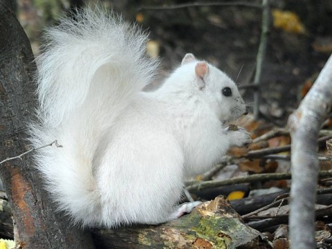 Photographer manages to get picture of just one of four white squirrels in the UK