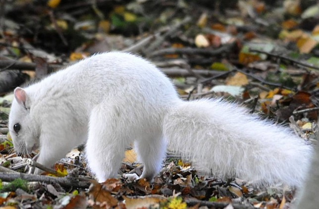 PIC FROM ANDREW FULTON / CATERS NEWS - (PICTURED: The rare white squirrel in Cheshire ) - Thats nuts! This lucky photographer managed to snap a picture of a white squirrel so rare there are only four in the whole country. Normally no stranger to the woods, squirrels pop out from behind trees causing mischief and burying their nuts but this is no ordinary squirrel its even rarer than an albino. Andrew Fulton, 59, from Northwich, Cheshire, caught the beautiful white animal on camera in Marbury Country Park, Cheshire, on Thursday October 22. SEE CATERS COPY.
