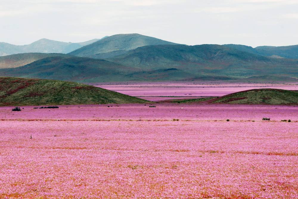When rain falls on the world's driest non-polar desert, something amazing happens