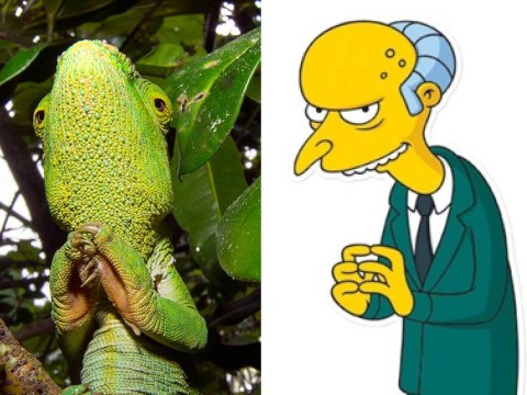 Exceeellent! This lizard is a dead ringer for The Simpsons' Mr Burns