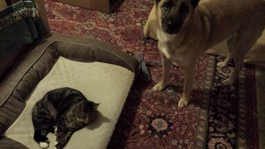 Dogs looking sad because cats have stolen their beds at home