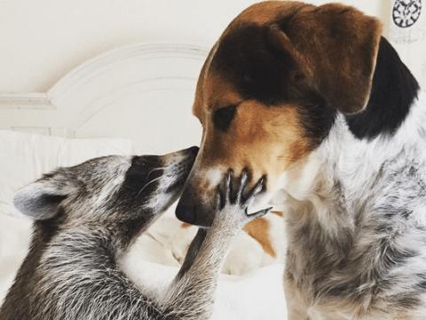 Meet Pumpkin the rescue raccoon who thinks she's a dog