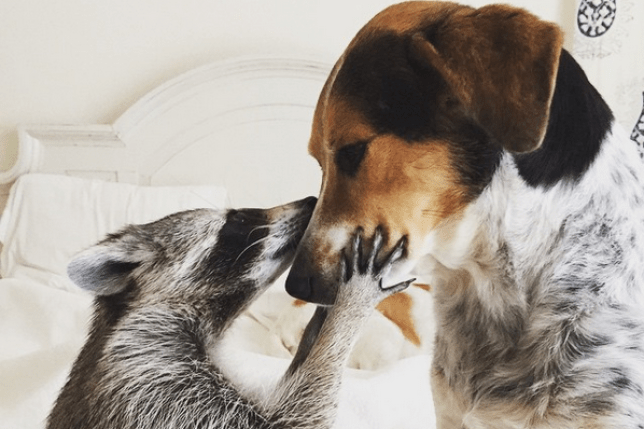 orphaned raccoon is rescued and raised with dogs