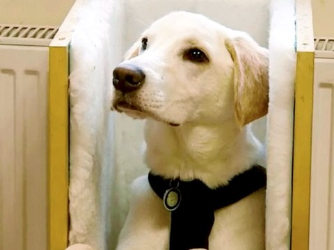 Pluto the labrador puppy needs to eat in a highchair or it could choke to death