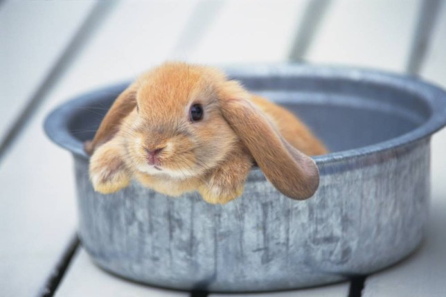 Image of a Lop Ear Rabbit Looking Out From a Silver Can, Side View, Differential Focus