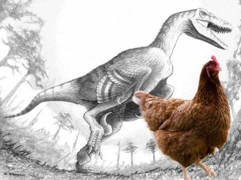 Lethal dinosaur Dakotaraptor looked like giant chicken