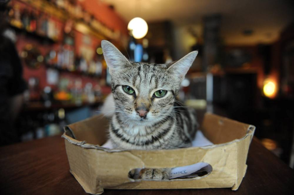 The Bag Oí Nails Pub in Bristol which has 15 resident cats. See SWNS story SWCAT; London has its cat cafes, but Bristol has gone one better: a cat pub. A pub in the centre of Bristol will have cat lovers purring with delight when they walk through its modest little door. Bag o' Nails in St George's Road is the talk of the town at the moment and not because of its eclectic selection of fine beers. Sitting at the bar while cute kittens and fat cats step over your pint is all part of the experience ñ and people like it. The landlord of Bag o' Nails has 15 cats and they can all join you for a friendly tipple or two.