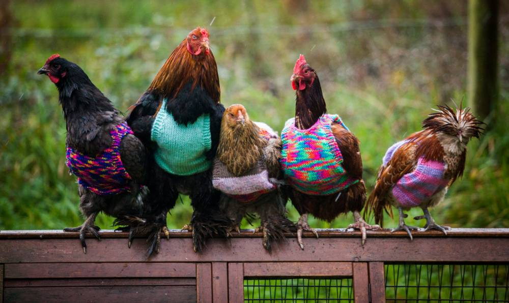 Nicola Congden's hen pecked rescue chickens which are being kept warm with knitted tank tops. See SWNS story SWHENS; A woman who has re-homed several battery chickens has developed a novel way to keep them warm ñ by knitting them woolly JUMPERS. Nicola Congdon, 25, and her mother Ann, 58, have been re-homing battery chickens for some years, but found that they would get cold when they lived outdoors. The chickens from the battery farms often had few feathers, as they would pull them out in frustration, and could not cope with the chilly countryside weather. Nicola decided to knit woolly jumpers for her chickens, and is now getting requests from abroad too purchase the jumpers, which she hand knits in her kitchen in Falmouth, Cornwall.