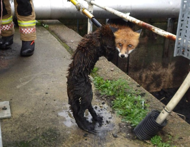 """MANDATORY CREDIT: RSPCA/REX Shutterstock Mandatory Credit: Photo by RSPCA/REX Shutterstock (5407497f) The Alpha Watch team from Atherstone fire station rescue the fox with an extended long pole and net Fox rescued after getting stuck in sewage plant slurry pit, Atherstone, Warwickshire - 19 Nov 2015 FULL COPY: http://www.rexfeatures.com/nanolink/rkrh A fox who got stuck in a slurry pit all night in a sewage plant has been rescued in a joint operation between the RSPCA and Warwickshire Fire and Rescue Service. The RSPCA was called to the Severn Trent plant in at the Carlyon Industrial Estate, in Atherstone, Warwickshire, Tuesday (17 Nov) morning after a worker spotted the female juvenile fox struggling to get out of the slurry. RSPCA inspector Nicola Johnson, who attended the incident, said: """"Who knows how this fox managed to get herself into this fix, perhaps she slipped and had an accidental tumble. But she was completely stuck when I found her - and there was no way she would have been able to make her way out without help."""""""