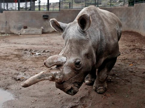 Only three northern white rhinos left after death of Nola