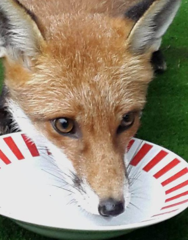 HEARTBROKEN¿... family¿s pet fox had to be surrendered. Pictured, from left to right, Dave Robinson, Harry Robinson and Paula Dewhirst. Pic from MEN Syndication Mitchell Henry House Hollinwood Avenue Chadderton Oldham OL9 8EF syndication@men-news.co.uk