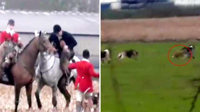Police investigate fox hunt regarding the killing of a fox by pack of hounds