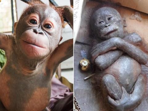 'Mummified' abandoned orangutan makes miracle recovery