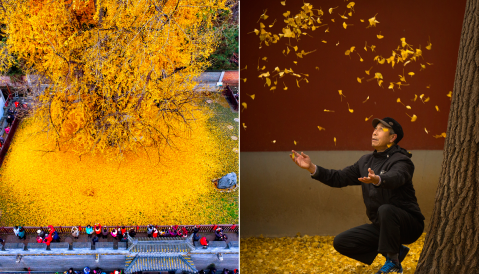 Enjoy the incredible beauty of this ancient tree shedding its leaves