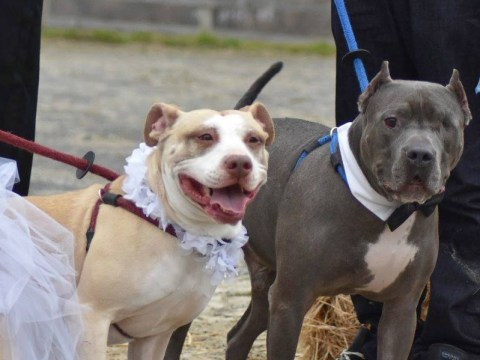 Pitbull soulmates fall in love and get married after being abused by previous owners