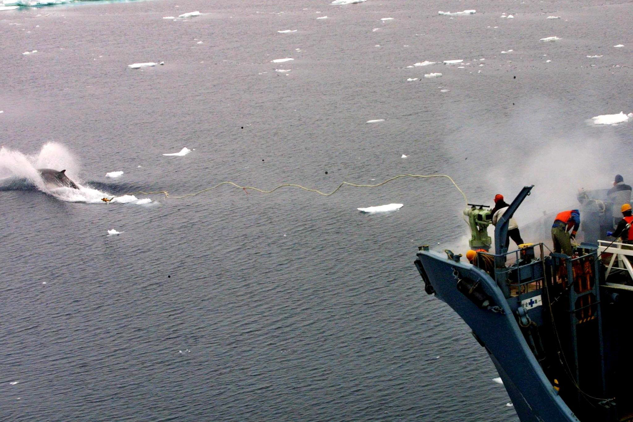 A Japanese whale catcher ship using a harpoon to catch a whale at sea in the Southern Ocean. According to reports, a Japanese whaling fleet departed on 01 December 2015 to resume its whaling programme in the Southern Ocean despite the International Court of Justice (ICJ) rule in 2014 said Japan's scientific whaling program was a sham. Picture: EPA)
