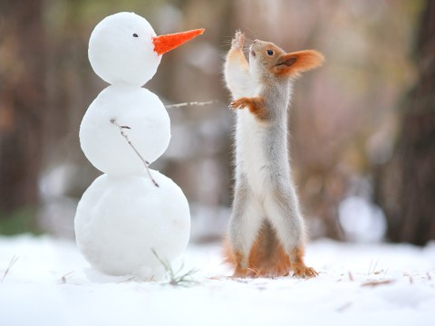 Stop everything and look at this squirrel making friends with a tiny snowman