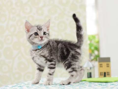 Woman orders dream purebred kitten online, gets a dead cat instead