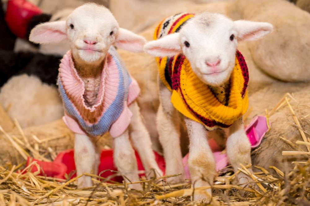 PIC BY KYLE BEHREND/ CATERS NEWS - (PICTURED: TWO LAMBS POSE FOR THE CAMERA IN THEIR JUMPERS) - Hay cuties! These pictures of little lambs wearing their most colourful Christmas jumpers will warm even the coldest of hearts. The adorable pictures almost look like something out of a nativity scene, as the lamb friends play in the straw while keeping nice and warm. But life hasnt always been this easy for the rescue lambs, with many having been through near-death experiences. Thankfully, they were all rescued and now live a happy, healthy life at Edgars Mission Farm Sanctuary in Victoria, Australia. SEE CATERS COPY.