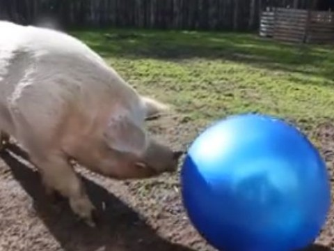 Max the pig loves playing with his big blue ball, but he can't stop ruining the fun