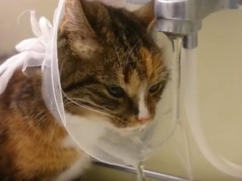 Genius cat discovers wearing a cone of shame isn't all bad