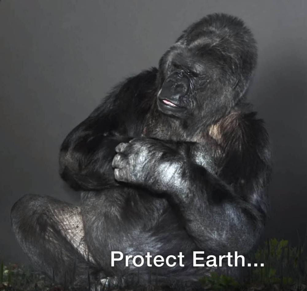 """EXC PRINT BEFORE WEB / Help Koko be the """"Voice of Nature."""" - Koko responds to a request to represent the """"Voice of Nature"""" in a scripted PSA at the Paris Climate Summit (COP21). Koko is currently one of the only non-human great apes in the world who can """"talk"""" to humans, and serve as an ambassador for endangered species source: The Gorilla Foundation / /Koko.org 1733 Woodside Rd., Suite 330, Redwood City, CA 94061 1 800-ME-GO-APE (1 800-634-6273)"""
