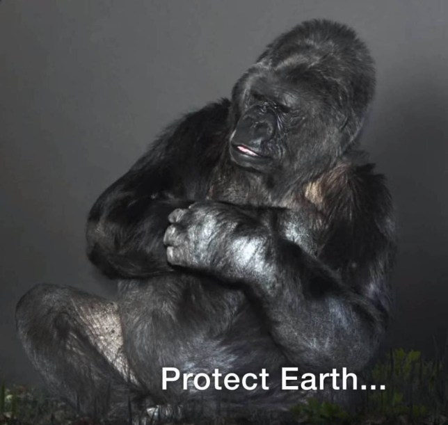 "EXC PRINT BEFORE WEB / Help Koko be the ""Voice of Nature."" - Koko responds to a request to represent the ""Voice of Nature"" in a scripted PSA at the Paris Climate Summit (COP21). Koko is currently one of the only non-human great apes in the world who can ""talk"" to humans, and serve as an ambassador for endangered species source: The Gorilla Foundation / /Koko.org 1733 Woodside Rd., Suite 330, Redwood City, CA 94061 1 800-ME-GO-APE (1 800-634-6273)"