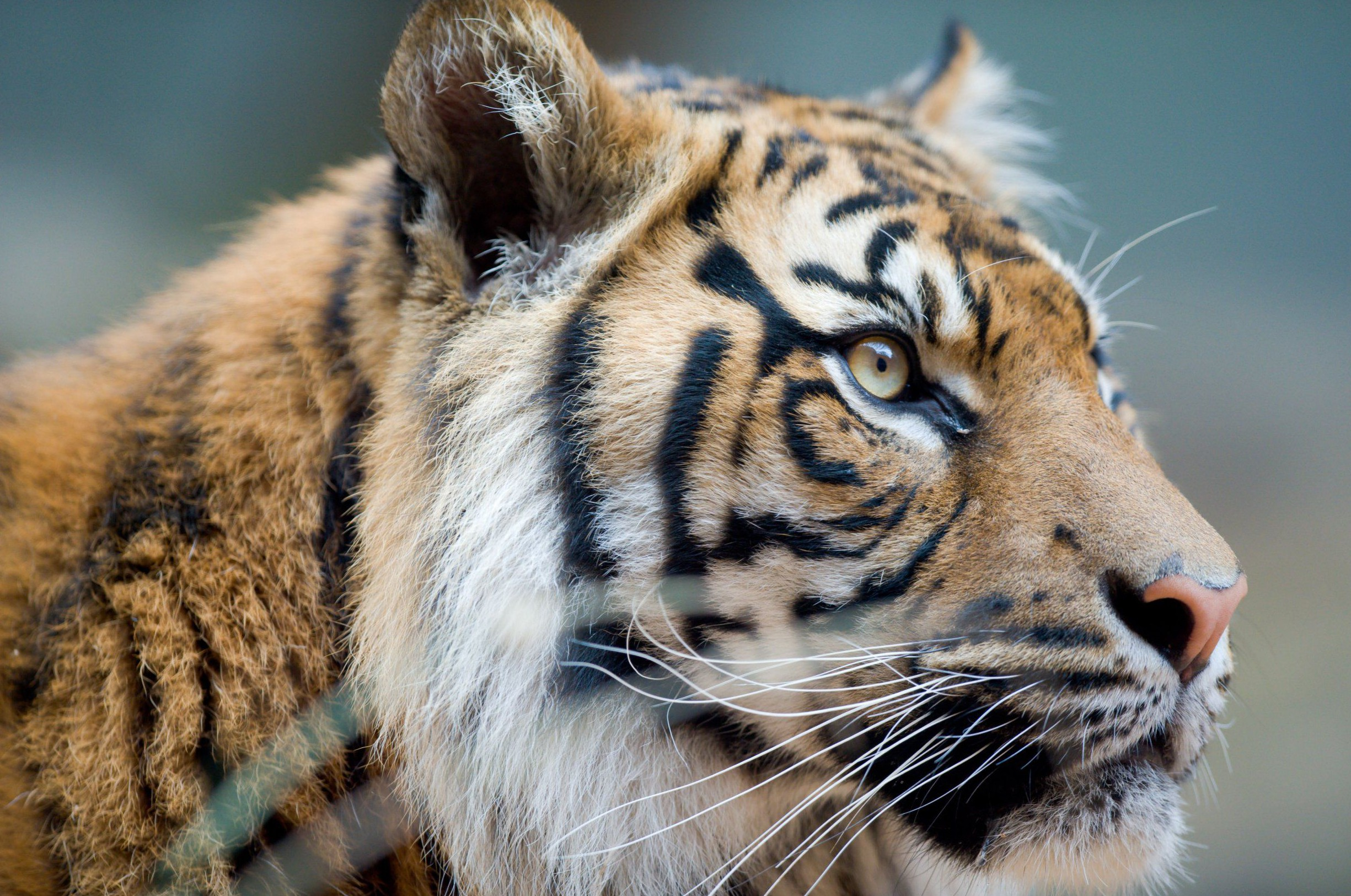 Mandatory Credit: Photo by Ian Bird/REX/Shutterstock (3024770n) Sumatran Tiger Taronga Zoo, Sydney, Australia - 11 Sep 2013