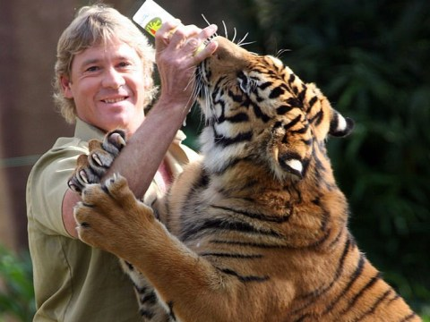 'Hot and bothered' tiger mauls keeper at Steve Irwin's zoo