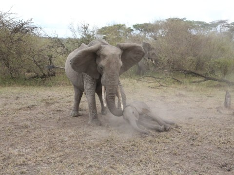 These photos of an elephant trying to wake her unconscious calf may break your heart