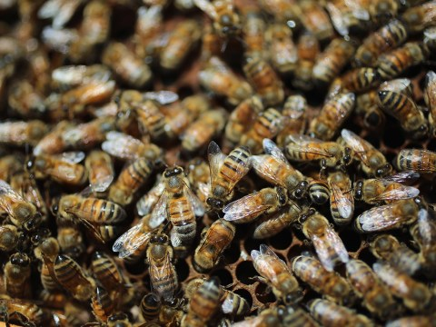Up to 57 different pesticides could be responsible for killing honey bees