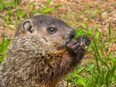 How much wood would a woodchuck actually chuck if a woodchuck could chuck wood?