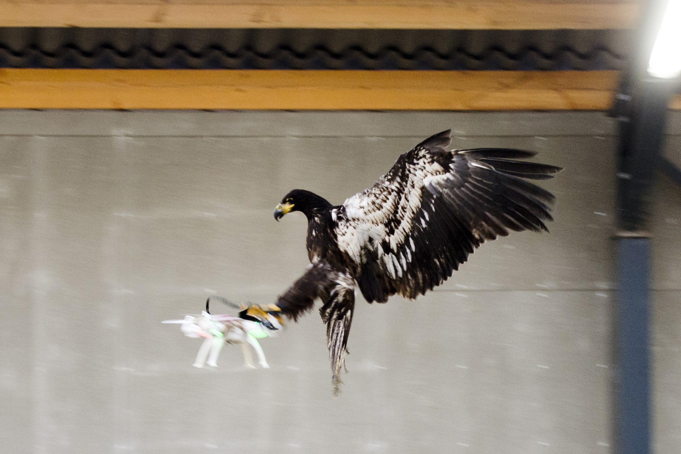 An eagle is seen gliding straight toward a drone before clutching it and dragging it to the ground in Rotterdam, Netherlands January 29, 2016, in this handout photo released by the Netherlands police to Reuters on February 1, 2016. Dutch police puzzling over how to remove drones that pose a public safety threat are testing a way to get the job done in one fell swoop: with trained eagles. REUTERS/Nederlands Politie/Handout via Reuters ATTENTION EDITORS - THIS PICTURE WAS PROVIDED BY A THIRD PARTY. REUTERS IS UNABLE TO INDEPENDENTLY VERIFY THE AUTHENTICITY, CONTENT, LOCATION OR DATE OF THIS IMAGE. EDITORIAL USE ONLY. NOT FOR SALE FOR MARKETING OR ADVERTISING CAMPAIGNS. NO RESALES. NO ARCHIVE. THIS PICTURE IS DISTRIBUTED EXACTLY AS RECEIVED BY REUTERS, AS A SERVICE TO CLIENTS TPX IMAGES OF THE DAY TPX IMAGES OF THE DAY TPX IMAGES OF THE DAY