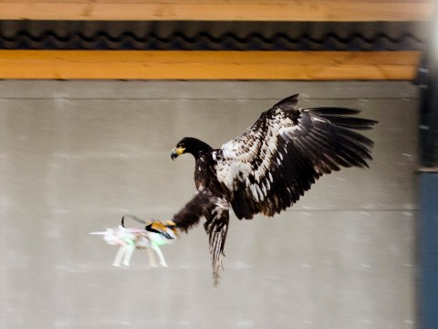 Dutch Police are training eagles to take out drones