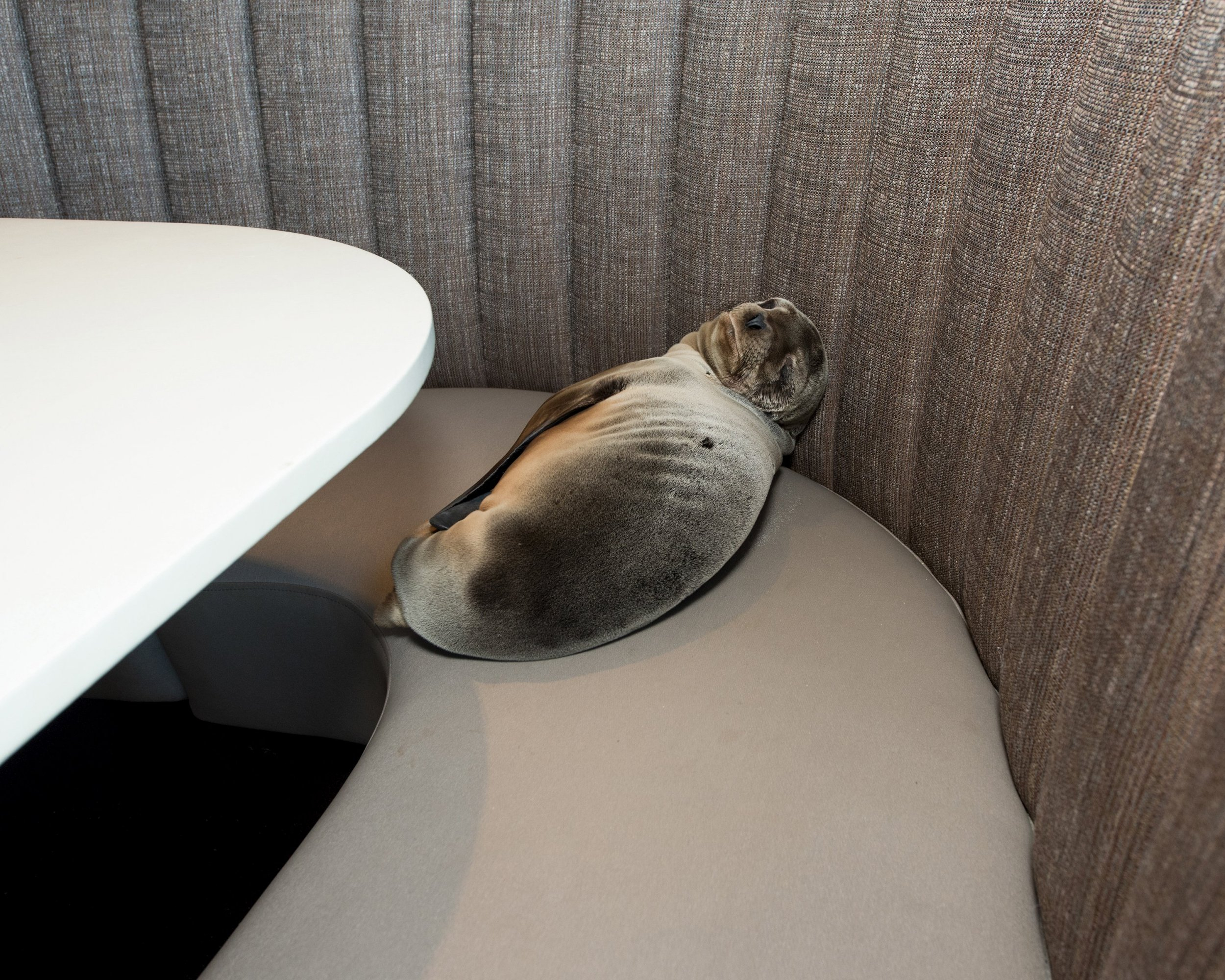 An eight-month-old female California sea lion pup is seen after being found sleeping in a booth in the dining room of the iconic Marine Room restaurant in La Jolla, California in this handout photo taken February 4, 2016. A rescue team from the SeaWorld San Diego theme park was called in to pull the barking mammal from the booth and place it in a net. The mammal was then taken to SeaWorld for care, said David Koontz, a spokesman for the tourist center. REUTERS/Mike Aguilera/SeaWorld¿Ø¬ø¬¿San Diego/Handout via Reuters ATTENTION EDITORS - THIS PICTURE WAS PROVIDED BY A THIRD PARTY. REUTERS IS UNABLE TO INDEPENDENTLY VERIFY THE AUTHENTICITY, CONTENT, LOCATION OR DATE OF THIS IMAGE. THIS PICTURE IS DISTRIBUTED EXACTLY AS RECEIVED BY REUTERS, AS A SERVICE TO CLIENTS. EDITORIAL USE ONLY. NO RESALES. NO ARCHIVE. TPX IMAGES OF THE DAY