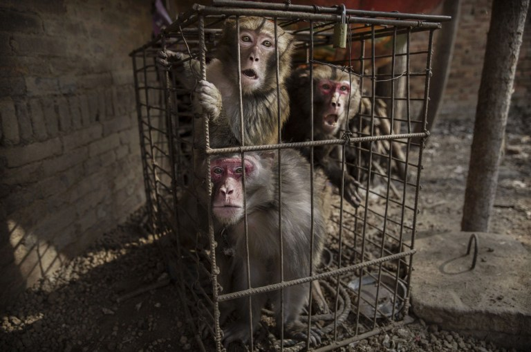 Chinese New Year: Cruel practice of 'monkey training' in