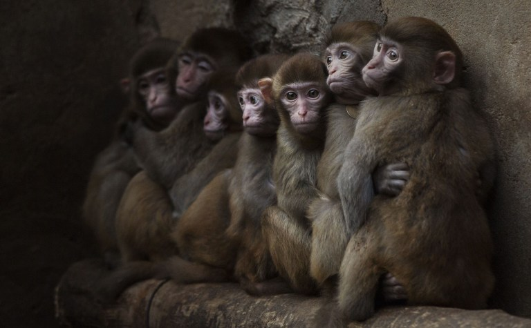 """XINYE, CHINA - FEBRUARY 03: Macaque monkeys crowd together in their cage at a monkey farm on February 3, 2016 in Xinye county, Henan province, China. The area boasts a centuries-long and lucrative history of raising and training monkeys for performance. In Xinye, villagers are seeing an increase in business with the lunar calendar's """"Year of the Monkey"""". Farmers say most of the monkeys are bred and raised for domestic zoos, circuses, and performing groups, but add that some are also sold for medical research in China and the United States. Despite the popularity of the tradition, critics contend the training methods and conditions constitute animal cruelty. (Photo by Kevin Frayer/Getty Images)"""