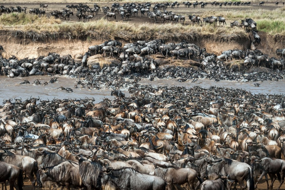 PIC BY INGO GERLACH/ CATERS NEWS - (PICTURED: Spot the zebra inbetween the herd of Wildebeest) - Forget Wheres Wally can you spot the zebra in this herd of wildebeest? These incredible photos show a huge herd of wildebeest stampeding through the African bush but lurking amongst the pack is a lone zebra. Despite his distinctive marking, the zebra is almost impossible to pick out amongst the crowd of wildebeest. The incredible photos of the wildebeest migration were snapped by German wildlife photographer Ingo Gerlach in Maasai Mara, Kenya. SEE CATERS COPY.