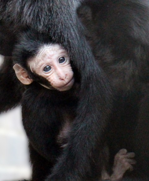 Cute macaque monkey born at London Zoo but no-one knows its